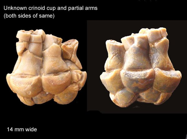 Unknown Crinoid Cup