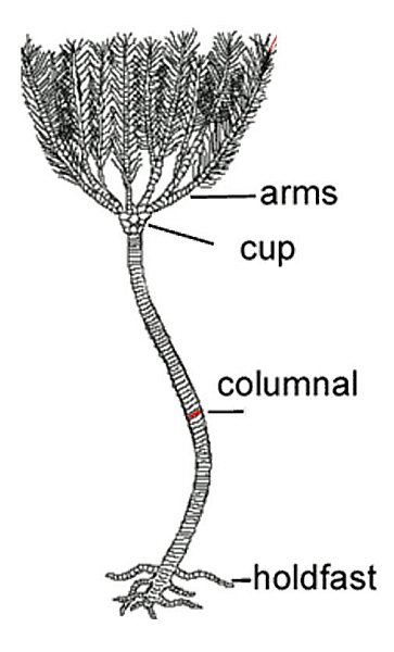Crinoid Diagram